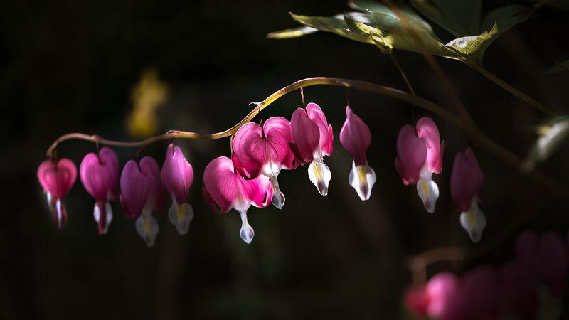 природа, макро, весна, цветы, дицентра Десять разбитых сердецphoto preview
