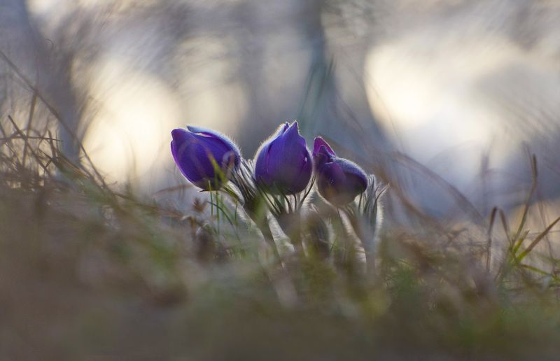 сон - трава, прострел, растение, весна, апрель, закат Настигнутые закатомphoto preview