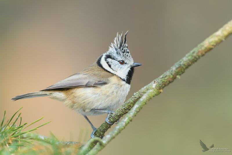 birds, nature, animals, wildlife, colors, tree, forest, nikon, nikkor, lens, lubuskie, poland Czubatka, Crested Tit  (Lophophanes cristatus) ... 2019rphoto preview