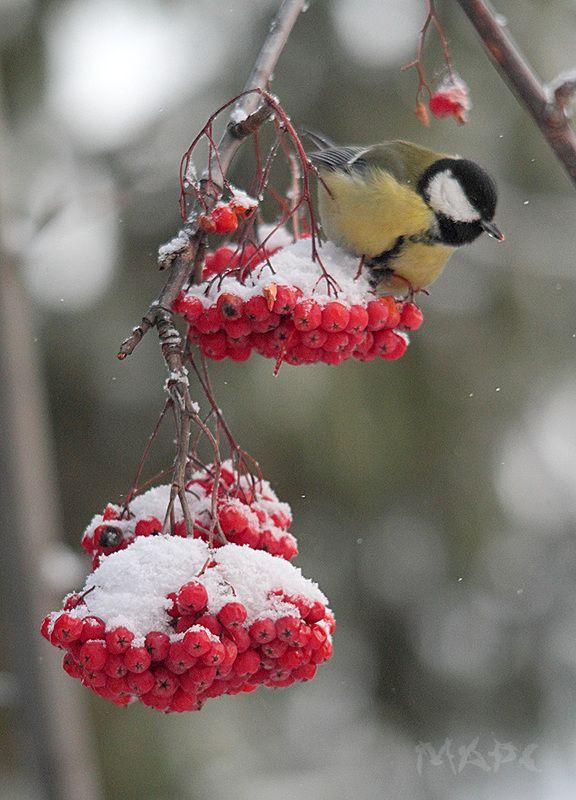 животные птица синица рябина зима рябинаphoto preview