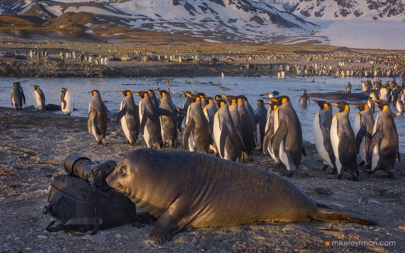 st. andrews bay, south georgia, southern elephant seal, king penguin Анималистphoto preview
