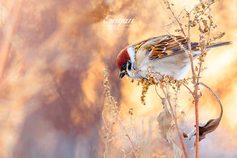 воробей полевой, птицы, животные, дикая природа, украина, харьков, закат, golden light, sparrow, eurasian tree sparrow, passer montanus, animals, wildlife, birds Зимние воробьиphoto preview