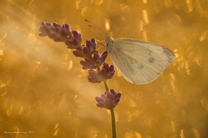 macro nature butterfly First Ray of Sun IIphoto preview