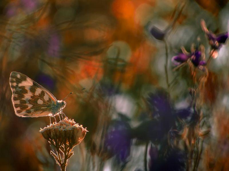макро, насекомые, бабочка, белянка, цветы Нереальная реальностьphoto preview