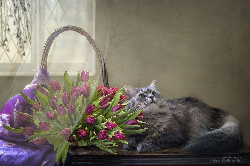 натюрморт, котонатюрморт, кошка Масяня, цветочный натюрморт, пурпурные тюльпаны Масяня позирует с корзиной пурпурных тюльпановphoto preview