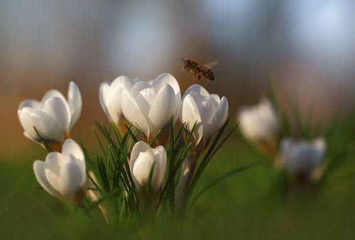 Первые крокусы и пчелки.