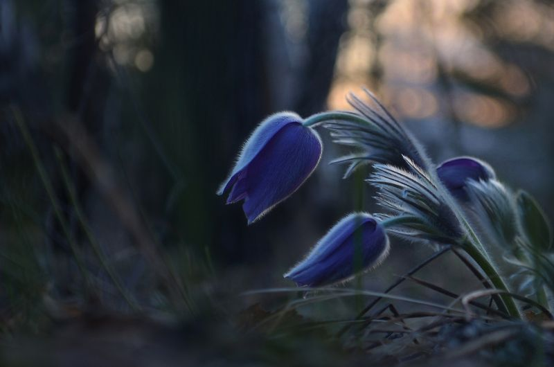 сон-трава, лес, сумерки, весна, холодный вечер, тишина Лесные сумерки. Сон-траваphoto preview