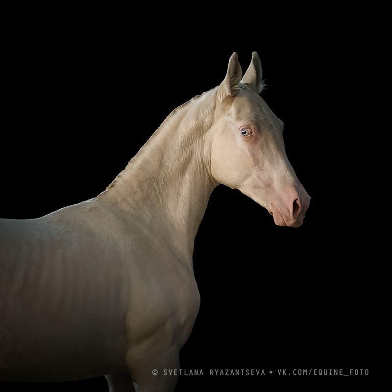 horse, лошадь, лошади, portrait Амиданаяphoto preview