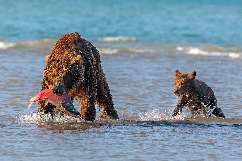 камчатка, медведь, лето, животные, природа, путешествие, фототур, Мама, поделись!!!photo preview