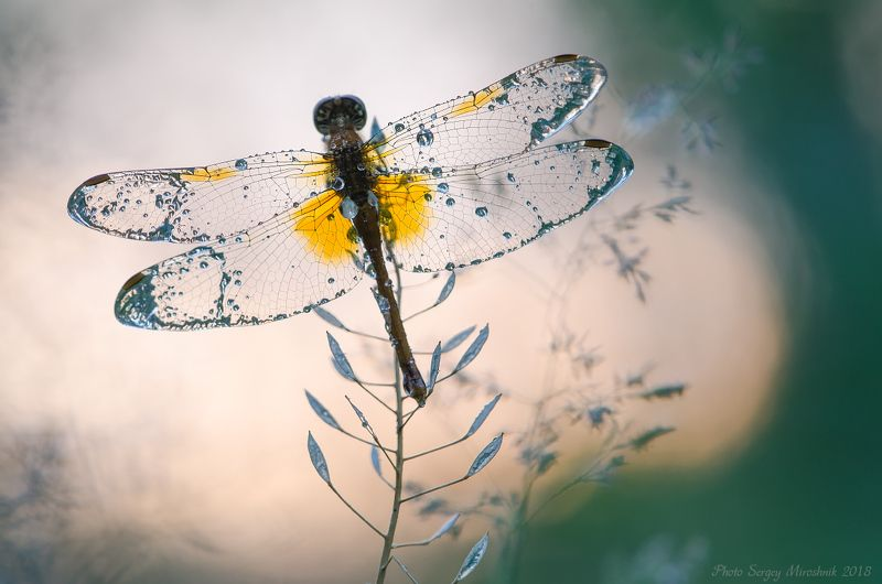стрекоза, природа, маро, лето, июнь, красиво, украина, крылья, роса Хрустальные крыльяphoto preview