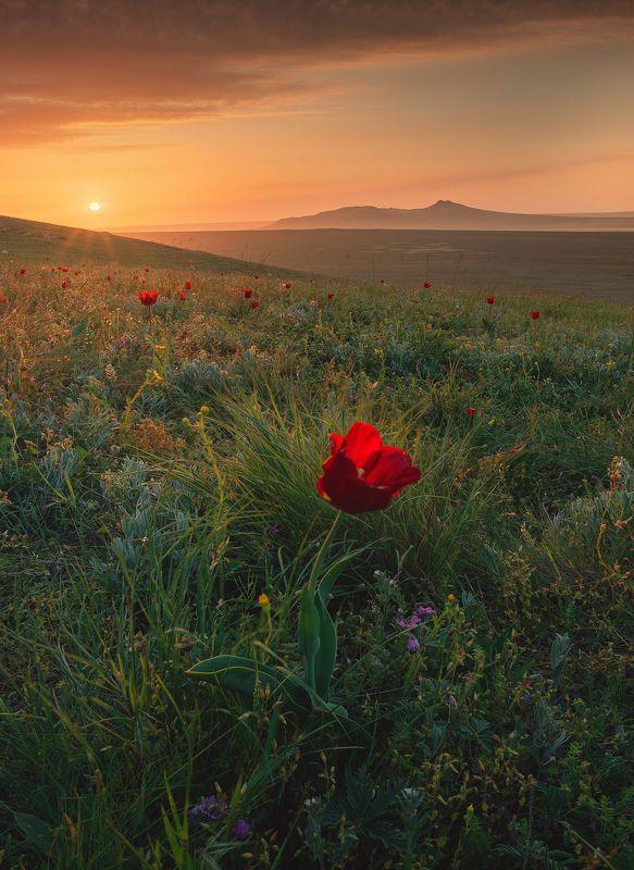 крым, мыс опук, кояшское озеро, керчь, керченский полуостров, тюльпаны шренка Жизнь Крымской Степиphoto preview