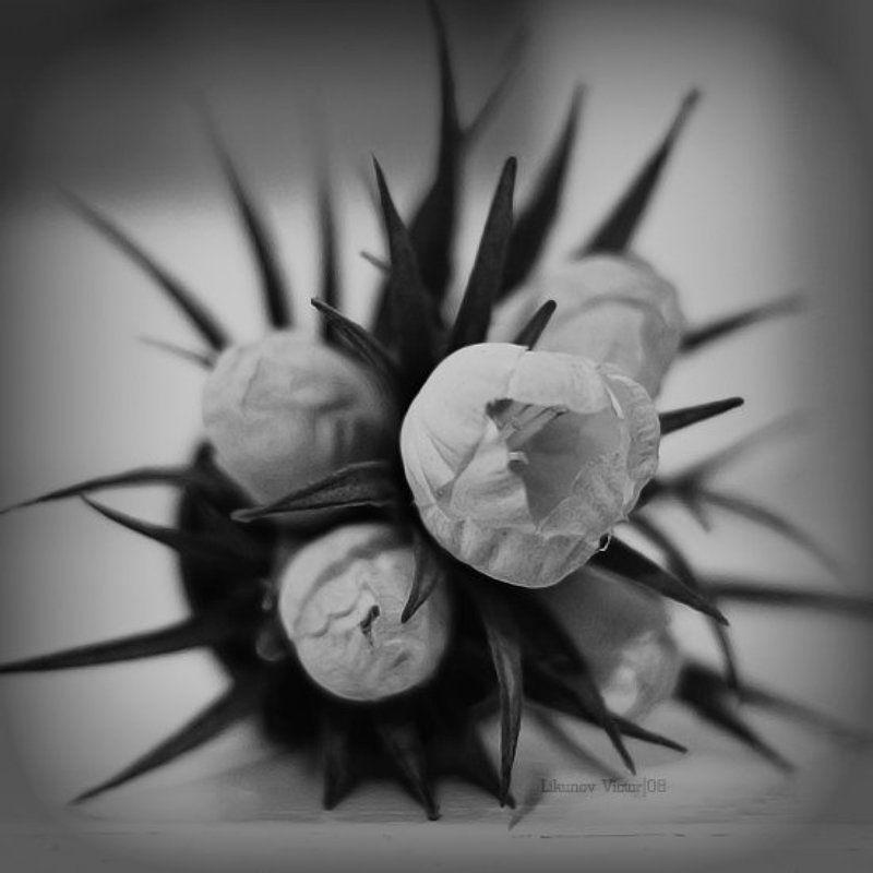 цветок, колючка, чб, arhy Pricklephoto preview