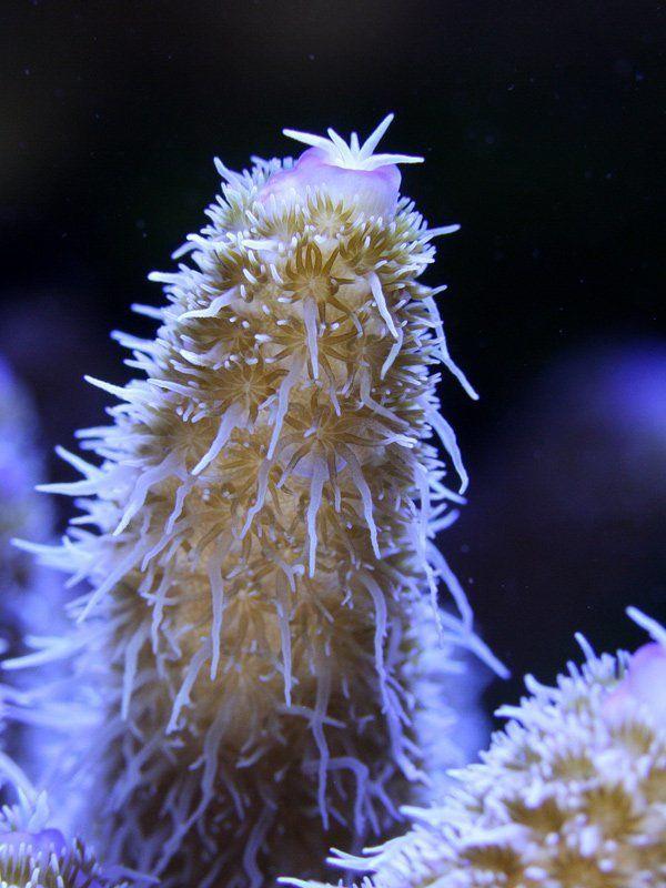 Acropora Sp.photo preview