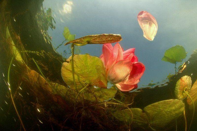 цветы, растения, природа, вода, подводный мир, дайвинг, интерьер Лотосphoto preview