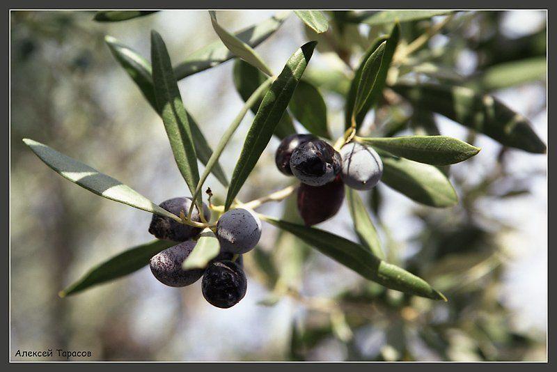 оливки Впитывая солнце...photo preview
