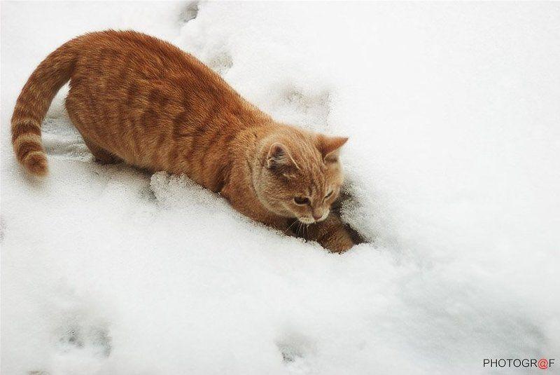 кот, снег снежный БАРСикphoto preview