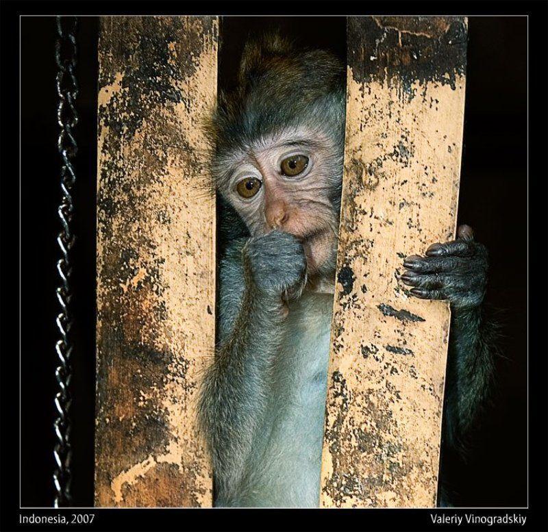 обезьяна, макака, бали, индонезия, зоопарк Мечта о свободе 2photo preview