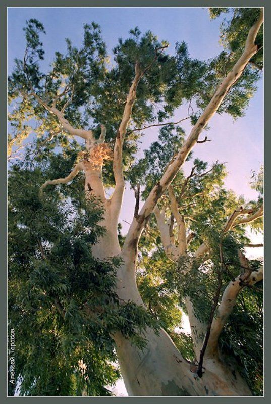дерево, эвкалипт Подпирая небо...photo preview