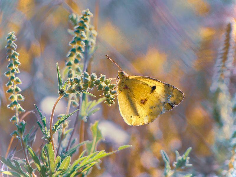 макро, насекомые, бабочка, желтушка луговая Цветовые галлюцинацииphoto preview