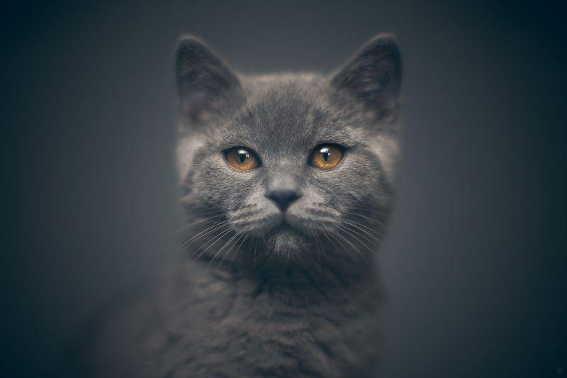 cat,  scottish, straigh, portrait Wilsonphoto preview