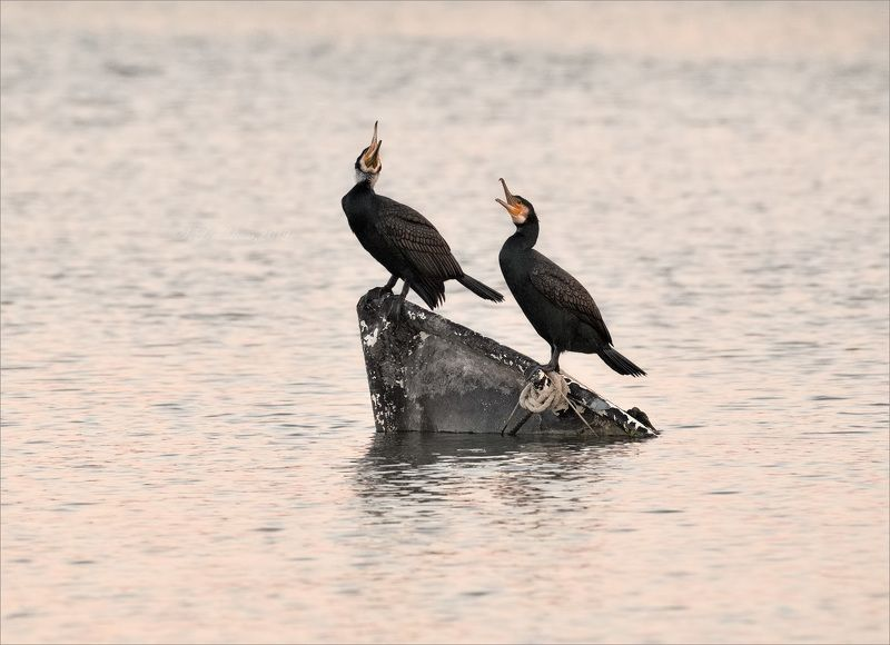 баклан, лодка, вода, закат, фауна Любовный дуэтphoto preview