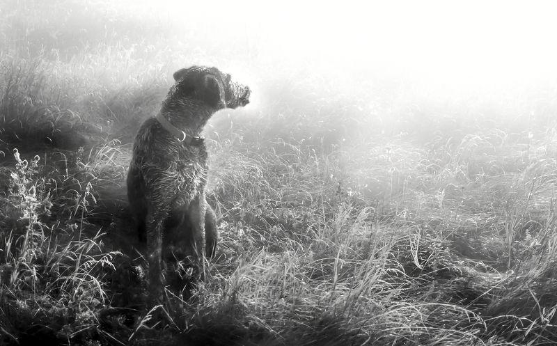 туман, дратхаар, август, роса, Туман. Август.photo preview