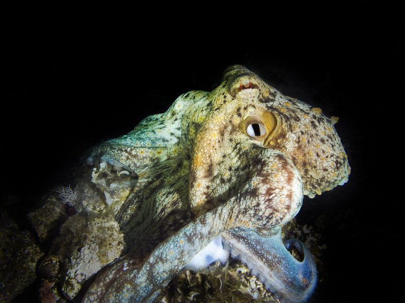 #mediterranean, #octopus Mediterranean Octopusphoto preview