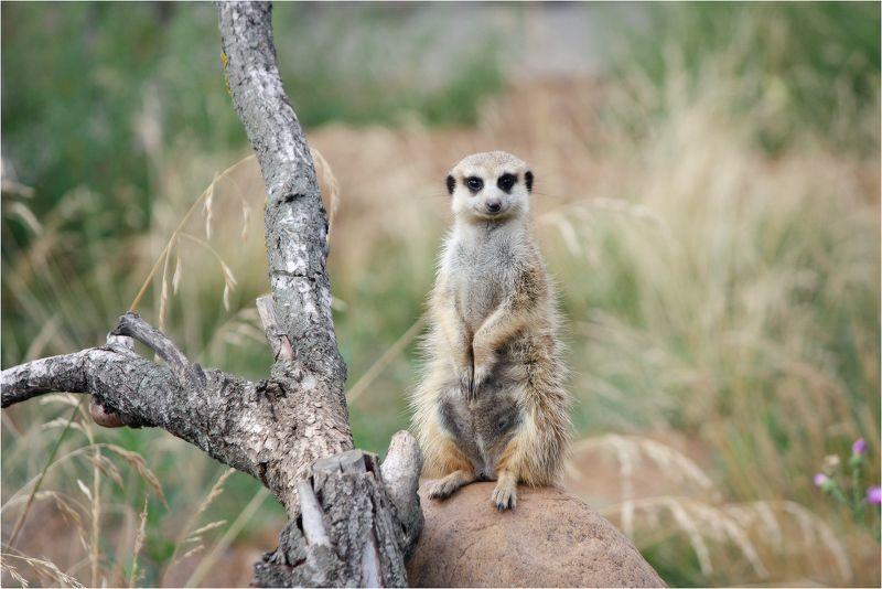сурикат(лат. suricata suricatta)... Улыбочку.photo preview