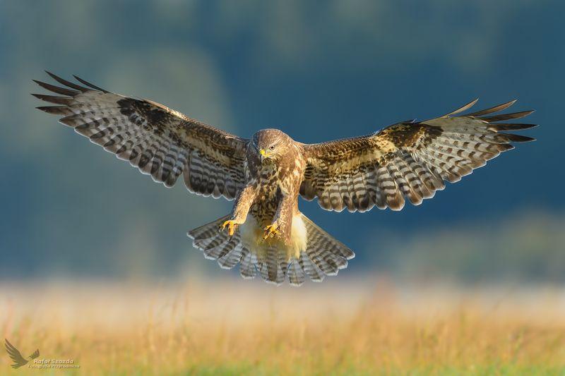 bids, nature, animals, wildlife, colors, meadow, flight, raptors, nikon, nikkor, lens, lubuskie, poland Myszołów, Common Buzzard (Buteo buteo) ...photo preview