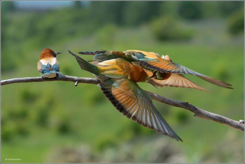 птицы,весна,щурки,драка,самочка Я вся такая, не при делах )photo preview