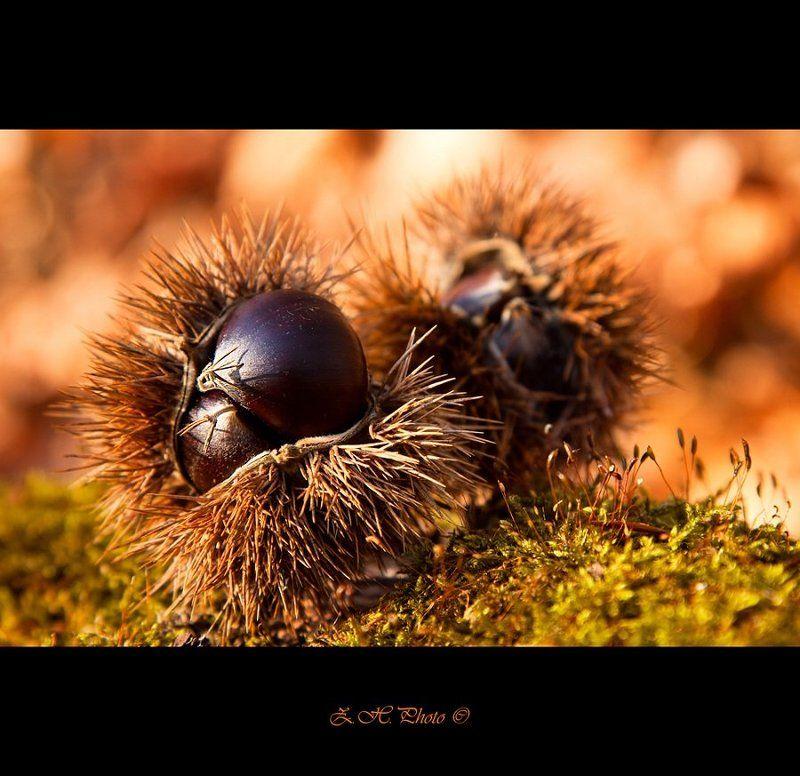 castanea, sativa, chestnut, bokeh Castanea sativaphoto preview