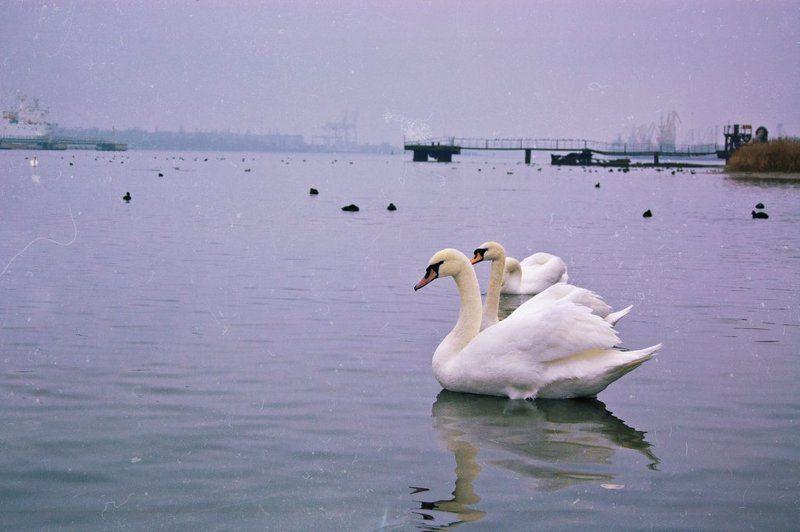 Лебеди в портуphoto preview