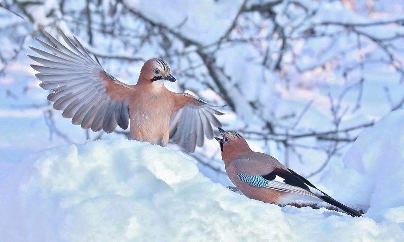 природа , птицы , сойки , зима , встреча \