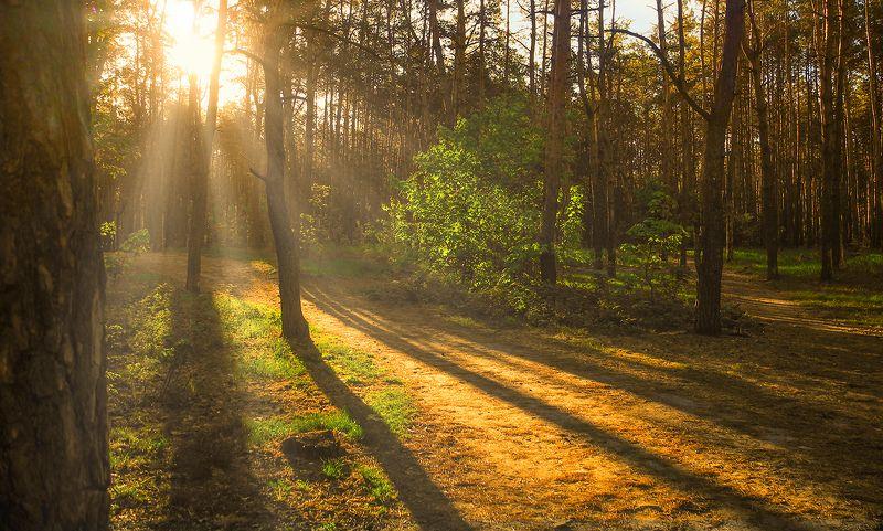 landscape, пейзаж, утро, лес, сосны, деревья, солнечный свет,  солнце, природа, солнечные лучи,  прогулка, тропинка, восход, утроphoto preview