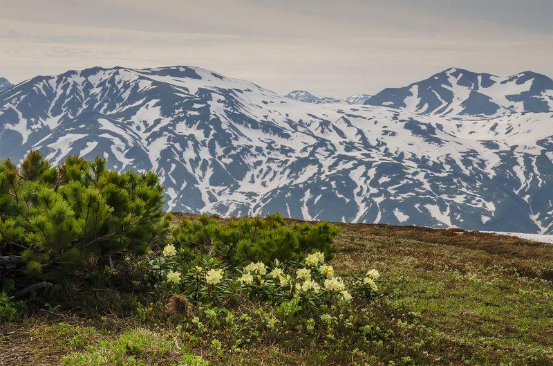 nevant60, пейзаж, красота, камчатка Камчатка Цветущие родондроныphoto preview