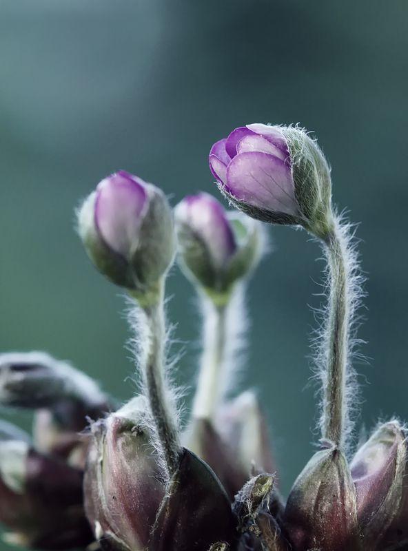 Hepatica nobilisphoto preview