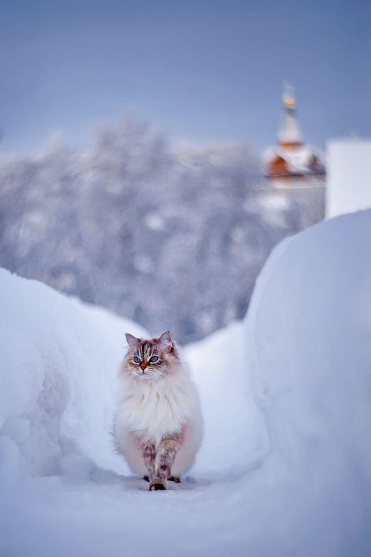 кошка, кот, животные, зима, петцваль На дворе была зимаphoto preview