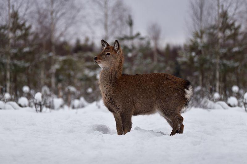 зима,лес,лань ***photo preview