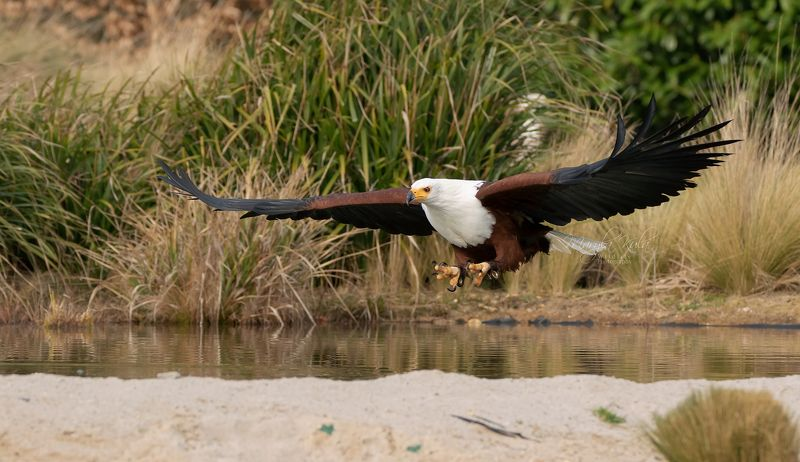 African Fish Eaglephoto preview