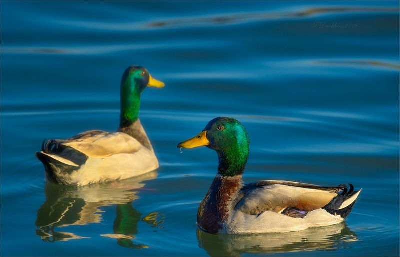 утки, птицы, фауна, животные, вода Весенние водыphoto preview
