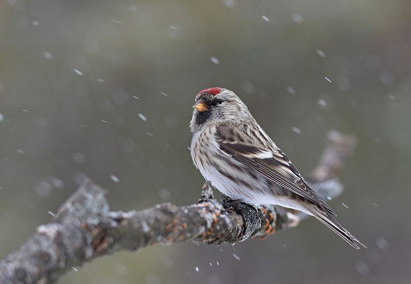 чечётка,самка,метель,бор Снег и ветерphoto preview