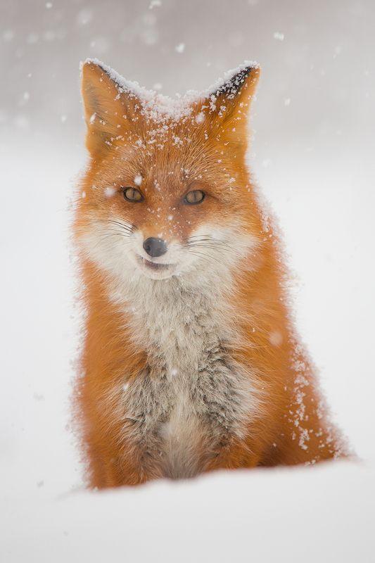 камчатка, лиса, зима, животные, природа, путешествие, фототур, Что-то задумала…photo preview