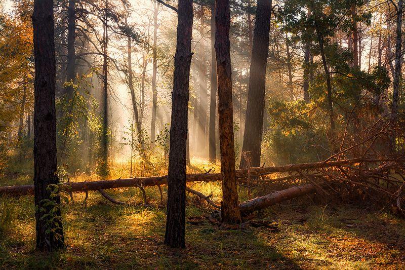 landscape, пейзаж, утро, лес, сосны, деревья, солнечный свет,  солнце, природа, солнечные лучи,  прогулка, прогулка в лесуphoto preview