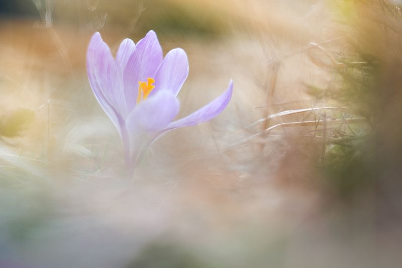 Crocusphoto preview