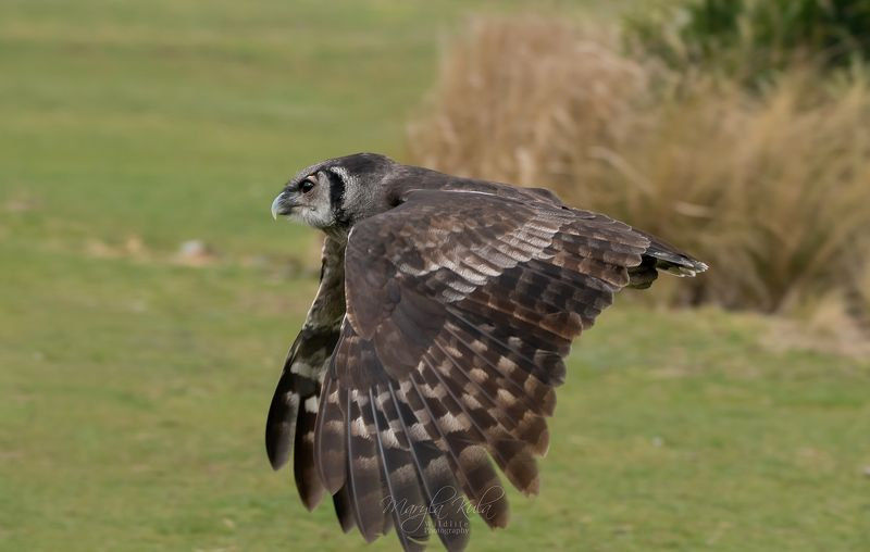 Milky Eagle Owl in flightphoto preview