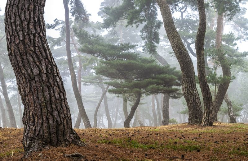 tree trunk, woods, trees, misty Tale of a pine forestphoto preview