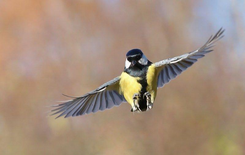 природа , птицы , синица , полёт \