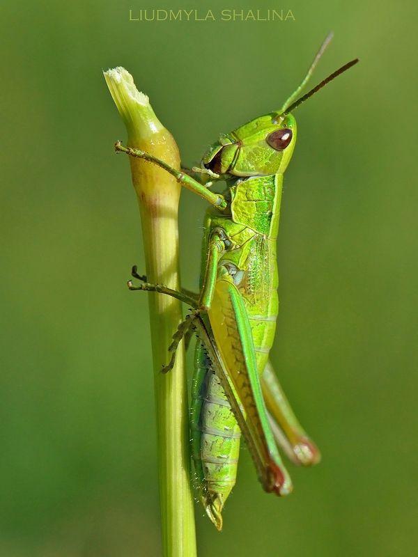 макро , природа , зеленый , кузнечик , саранча , кобылка  Совсем как огуречикphoto preview