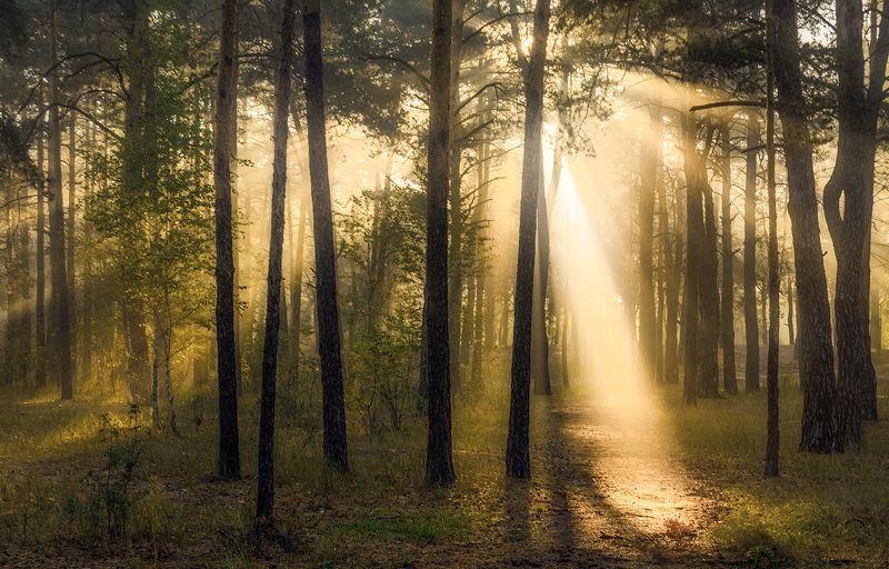 landscape, пейзаж, утро, лес, сосны, деревья, солнечный свет,  солнце, природа, солнечные лучи,  прогулка, photo preview