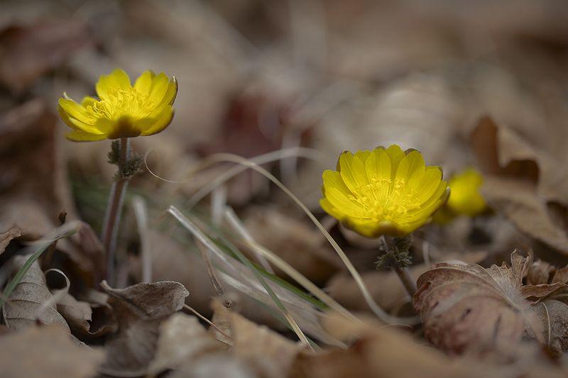 адонис амурский adonis amurensis март весна Весенняяphoto preview